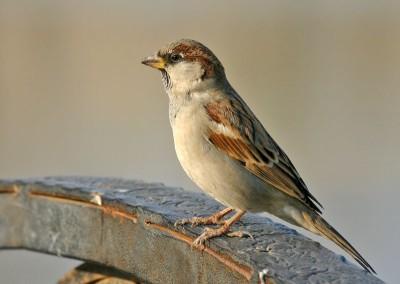 sparrow-400-x-284